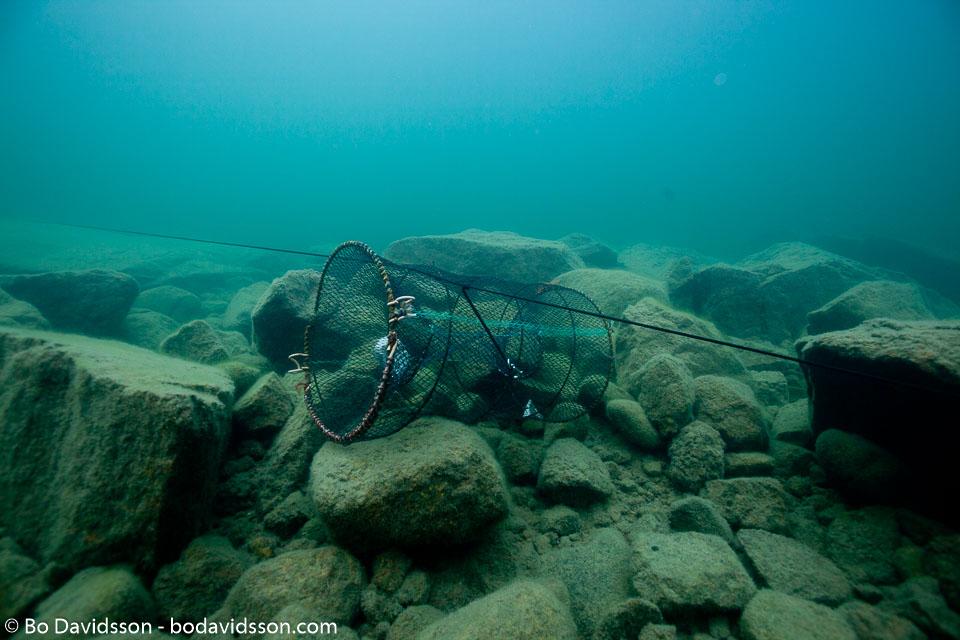 BD-100818-Nydalen-1527-Pacifastacus-leniusculus-(Dana.-1852)-[Signal-crayfish.-Signalkräfta].jpg